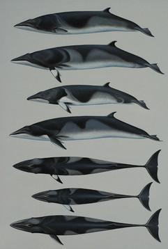 Minke Whales of the World 61 x 42 cm ill