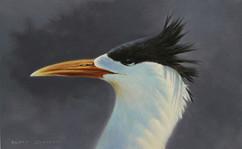 Crested Tern portrait 28 x 17 cm birds.J