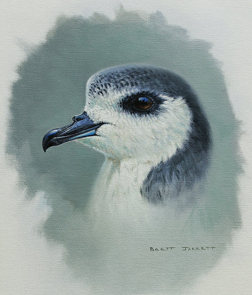 Blue Petrel portrait