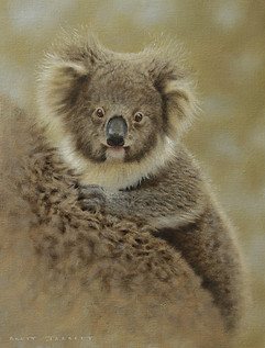 Koala Joey 24 x 31cm mammals.JPG