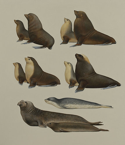 Seal species of Victoria
