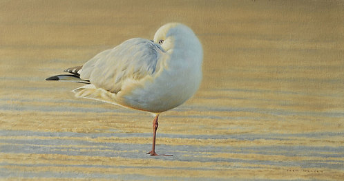 'Spring Light' Silver Gull