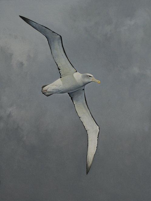 'Storm Rider' Shy Albatross