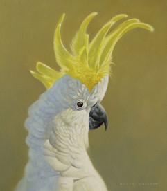 Sulphur-crested Cockatoo portrait 30 x 3