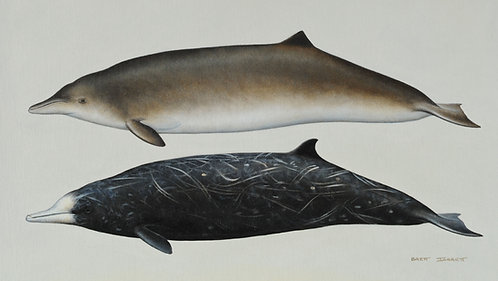 Hector's and Pygmy Beaked Whales