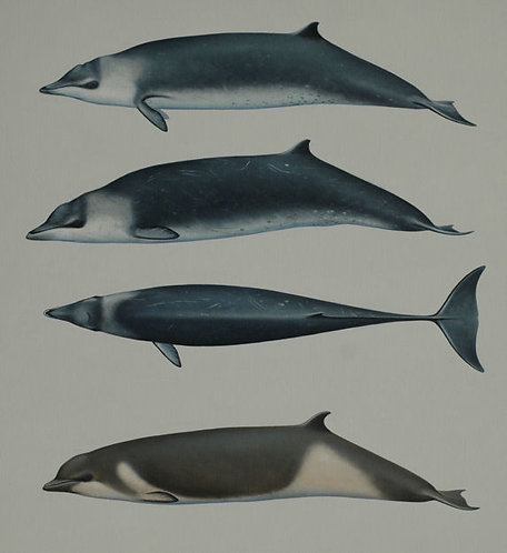Hector's and Shepherd's beaked whales