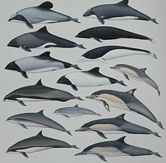 Oceanic Dolphins 51 x 51 cm illustration