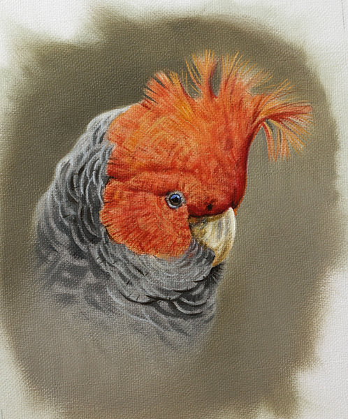 Gang-gang Cockatoo Card