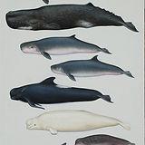 Jefferson Marine Mammals  Guide 2007 047