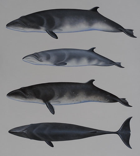 Pygmy Right Whales