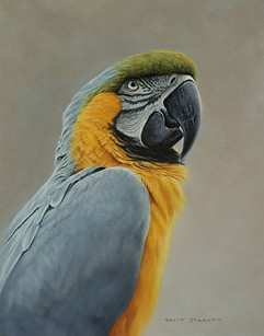 Blue and Gold Macaw portrait 28 x 35 cm
