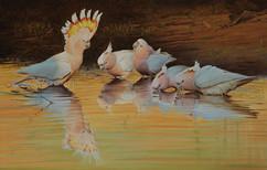 'Showboat' Pink Cockatoos - Copy.JPG