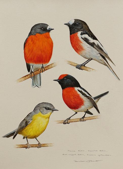 Robin Species