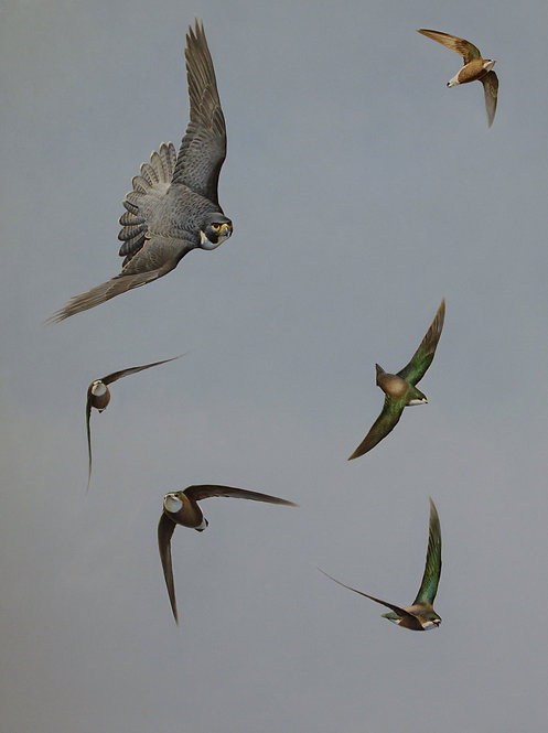 'Top Guns' Peregrine Falcon and Needletails