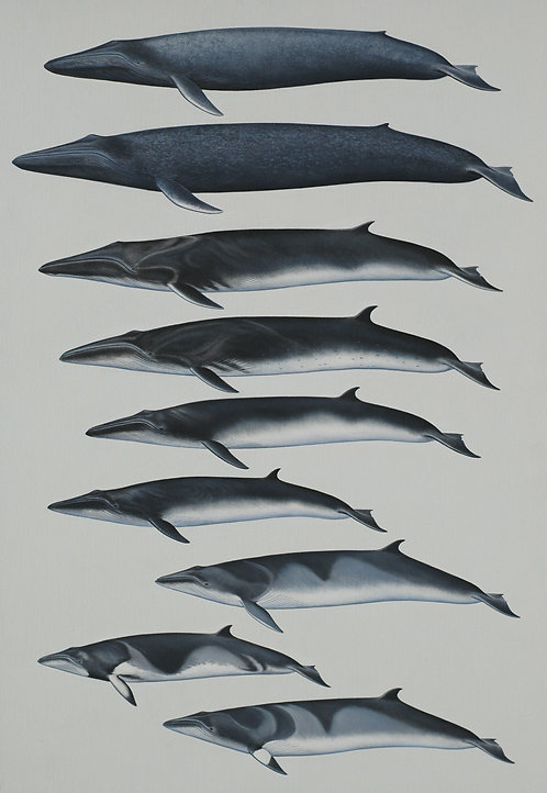 Marine Mammals of the World: Rorquals