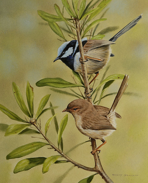 Superb Fairy-wrens B