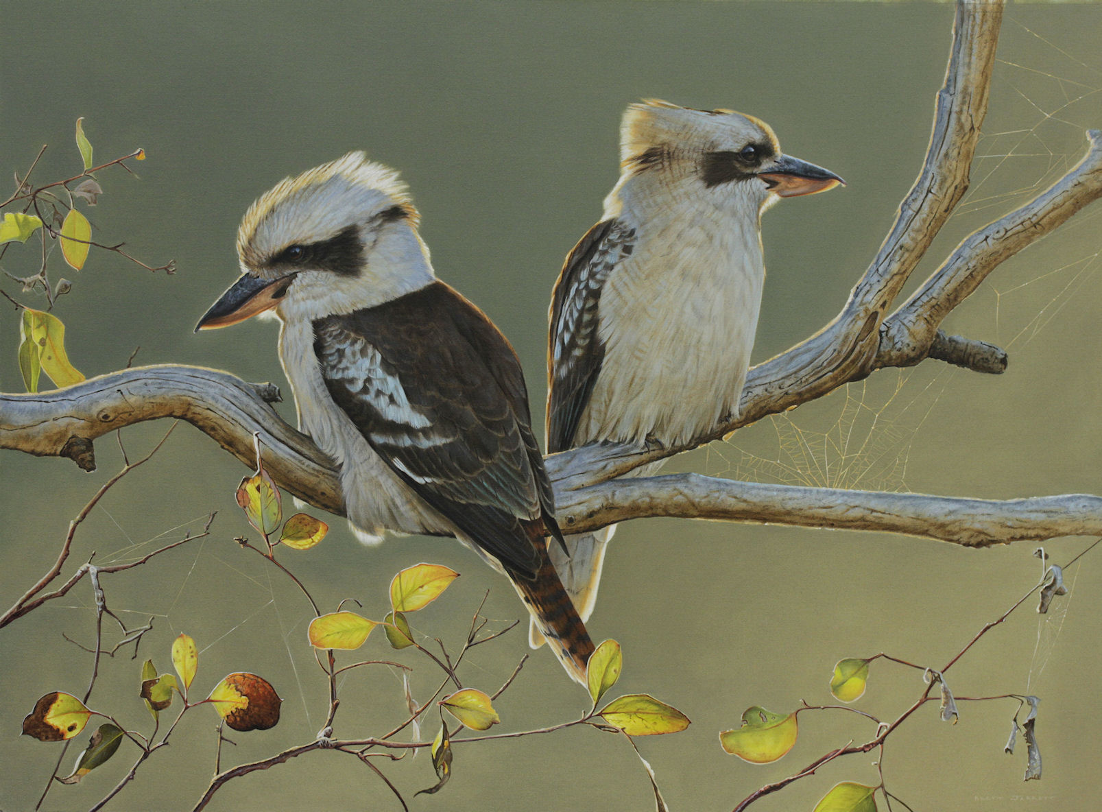 'The Golden Hour' Laughing Kookaburras -