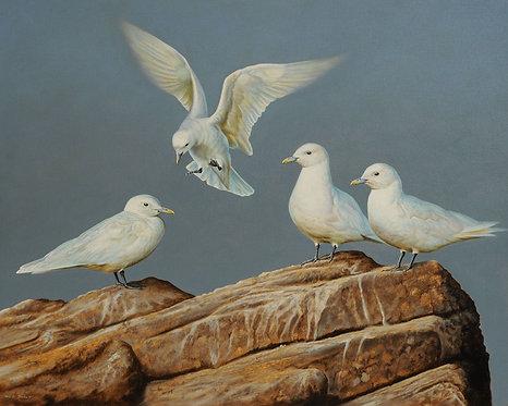 Ivory Gulls
