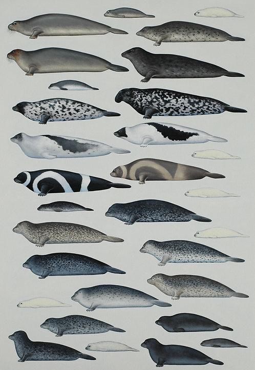 Northern True Seals