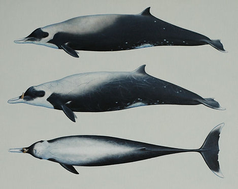 Strap-toothed Whale