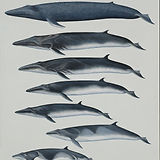 Rorqual Whales of the World.jpg