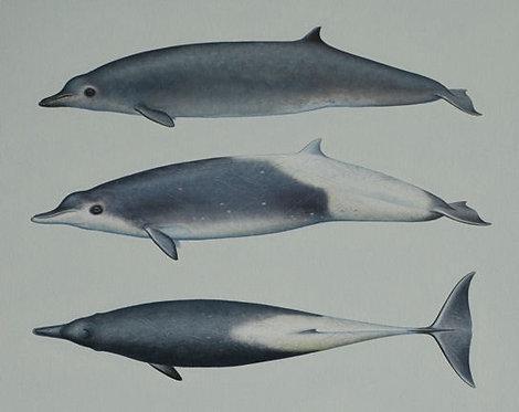 True's Beaked whales