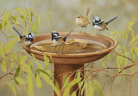 Superb Fairy-wrens on Birdbath