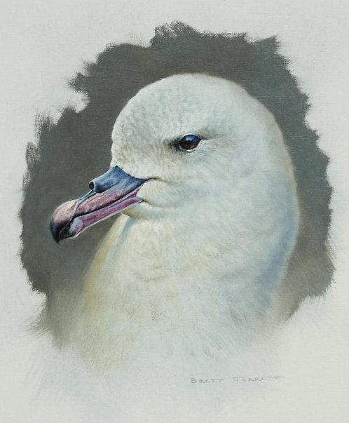 Southern Fulmar portrait