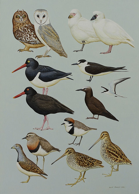 Antarctic Guide Illustration South American species