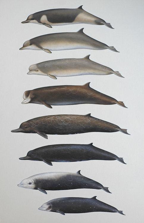Large Beaked whales