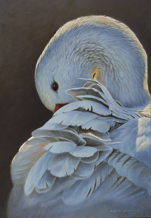 White Goose Preening