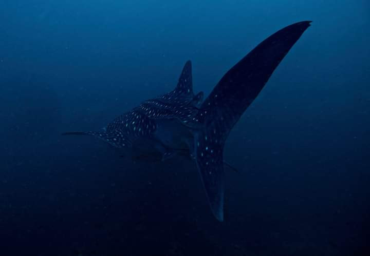 Whaleshark in the Andaman Sea
