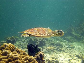 Koh Cheuk Hawksbill Turtle.jpg