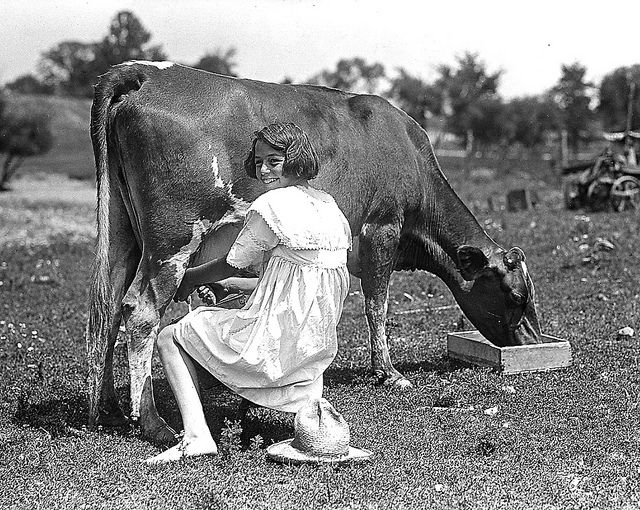 A girl milking a cow in the 1930s.