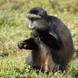 golden monkey.jpeg