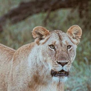 NAT LION.jpeg