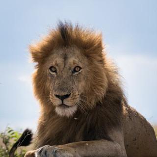 brooks lion.jpeg