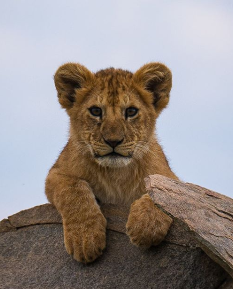 lion baby.png