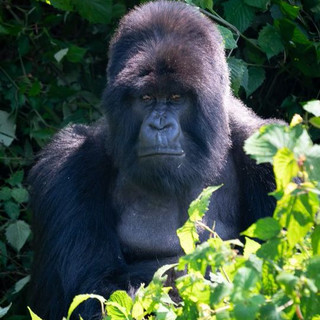 Brooks Gorilla.jpeg
