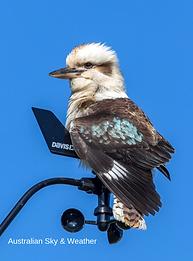 Kookaburra with Credit.png