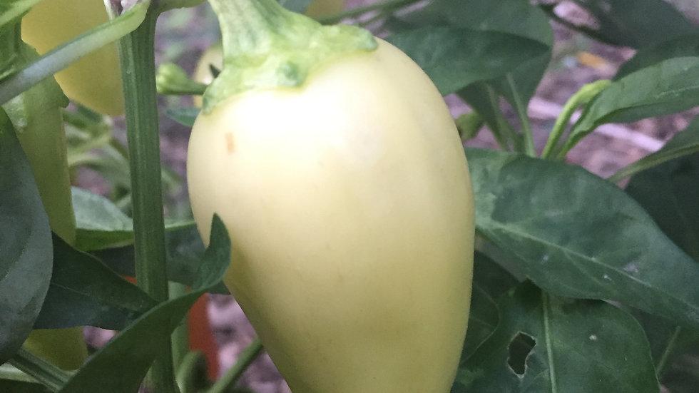 White Jalapeno (Capsicum annuum)