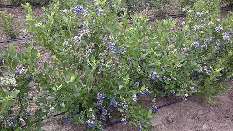 Vaccinium corymbosum (Highbush Blueberry)