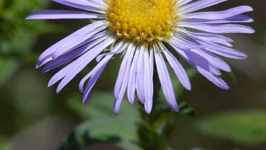 Symphyotrichum novae-angliae (New England Aster)