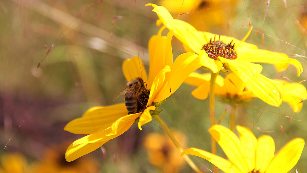 Helianthus angustifolius (Narrow-leaf sunflower)