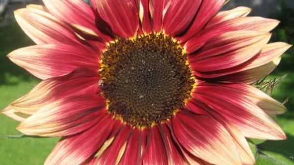 Sunflower - Autumn Beauty