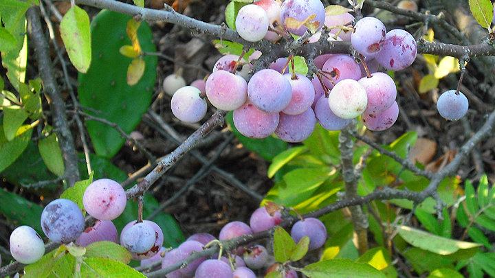 Prunus maritima (Beach Plum)
