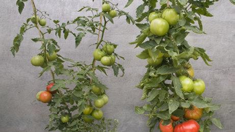 Tomato - Supernatural