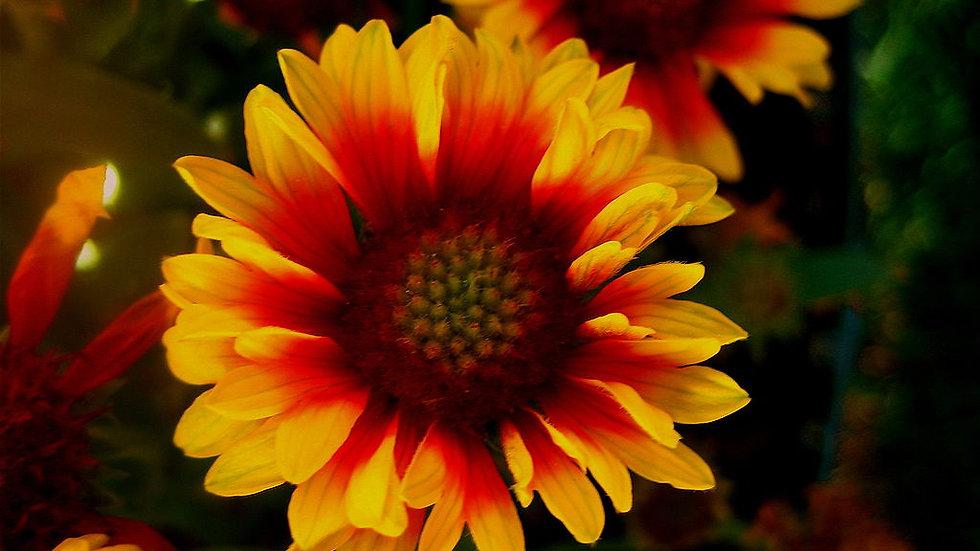 Gaillardia pulchella (Blanket Flower)