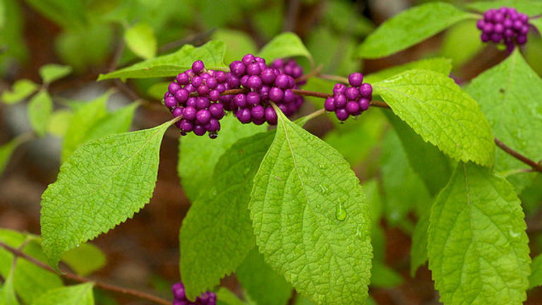 Callicarpa americana (Beauty Berry)