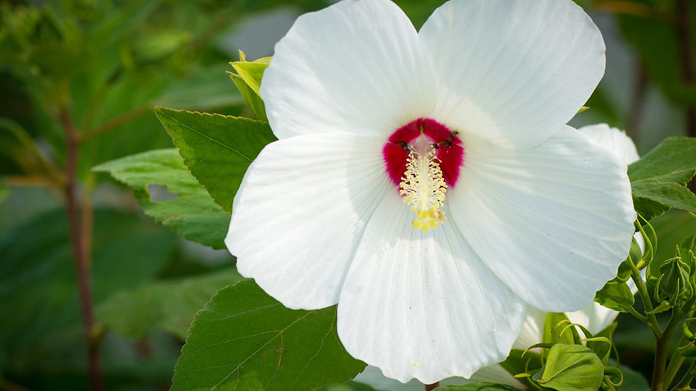 Hibiscus moscheutos (Swamp Rose Mallow)